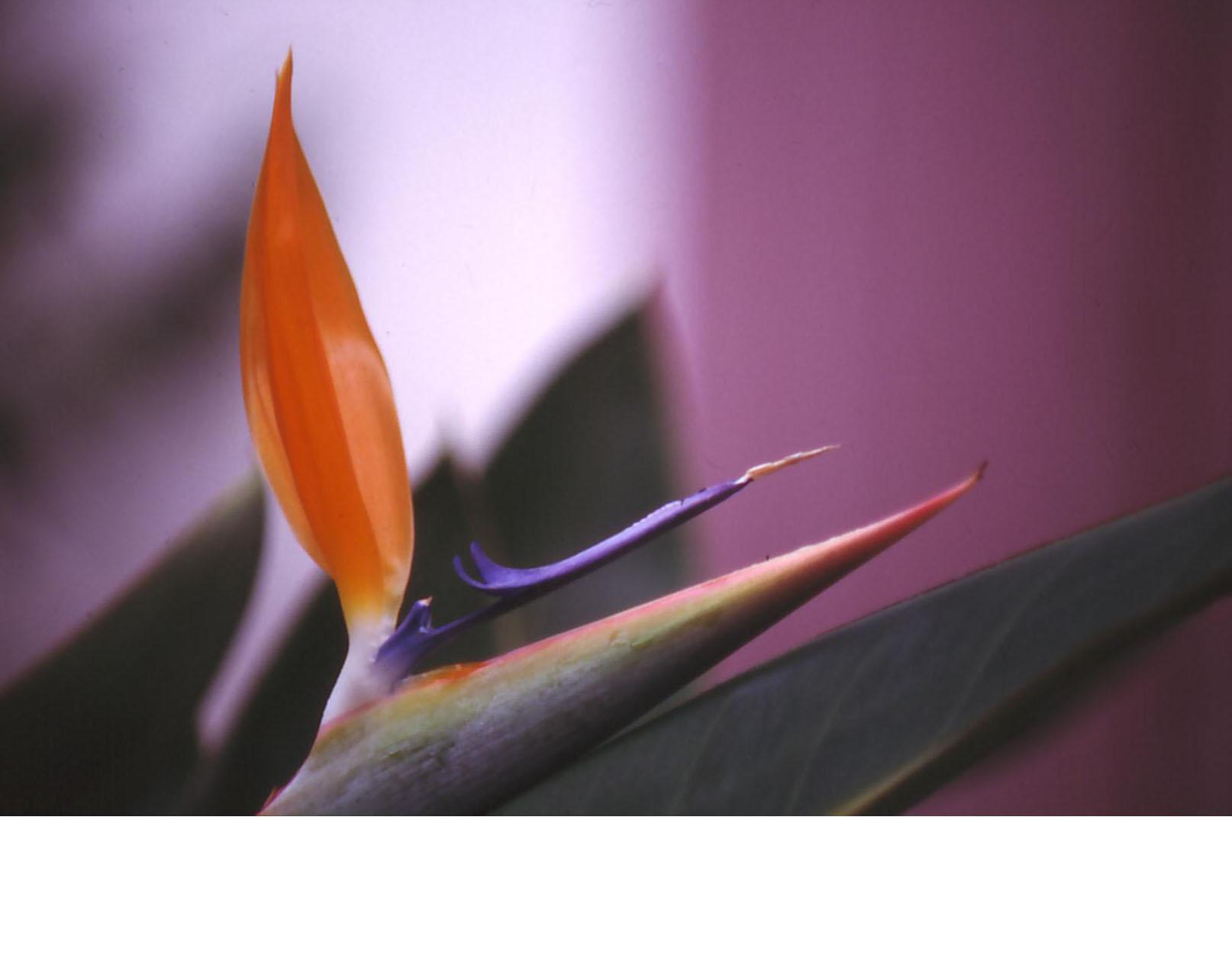 Strelitzia reginae ou oiseau de paradis - 2000